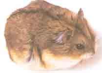 Карликовый хомячок Кэмпбелла или джингарский хомячок примерно в два раза...